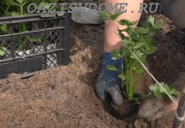 Высадка рассады сельдерея