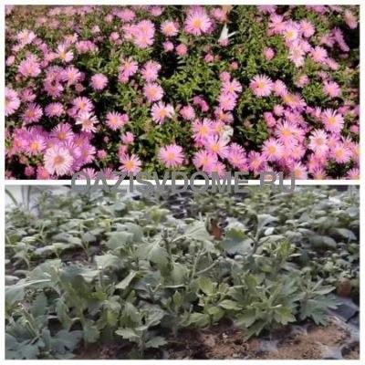 Черенкование и укоренение черенков хризантемы осенью в домашних условиях пошагово с фото
