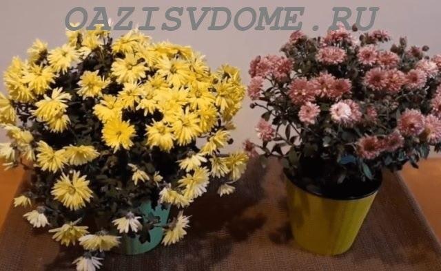 Горшечная хризантема после цветения