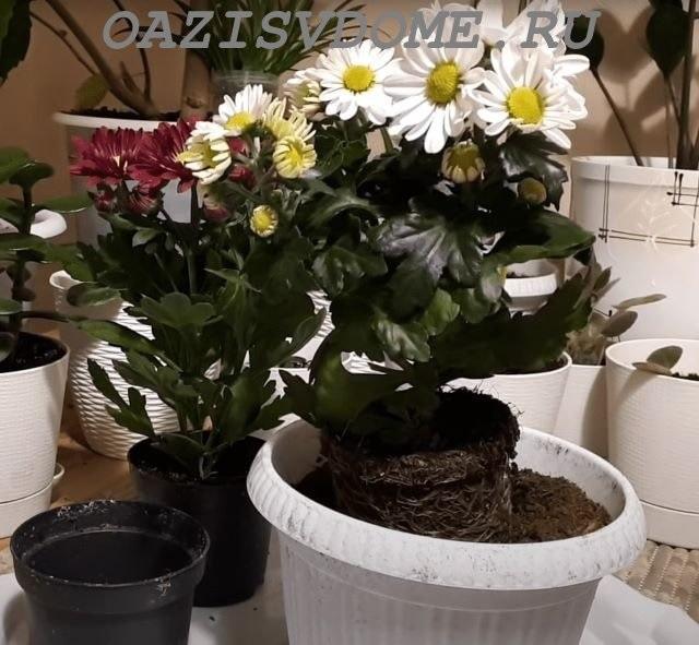 Подготовка хризантемы в горшке к пересадке