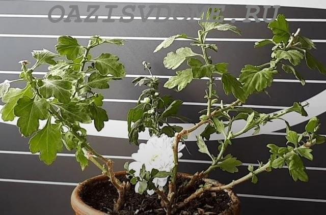 Горшечная хризантема после обрезки