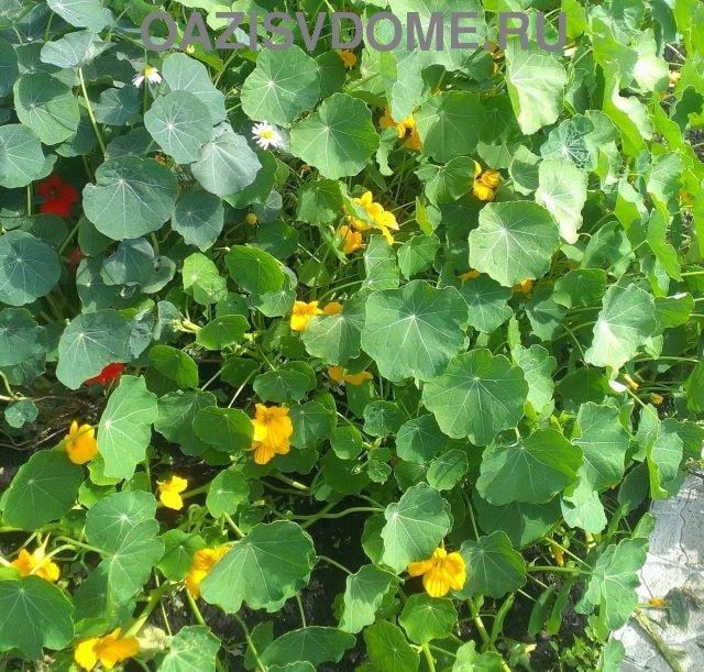 Разросшийся цветущий куст настурции