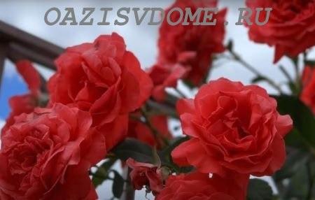 Выращивание плетистых роз на даче: посадка, уход и размножение