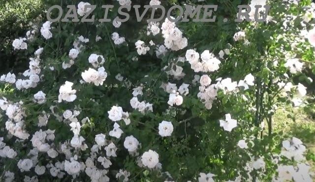Садовые плетистые розы