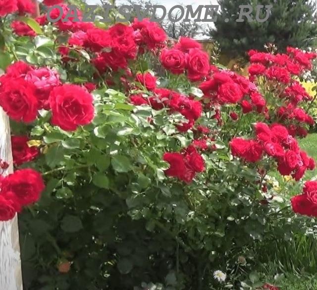 Цветение плетистых роз в саду