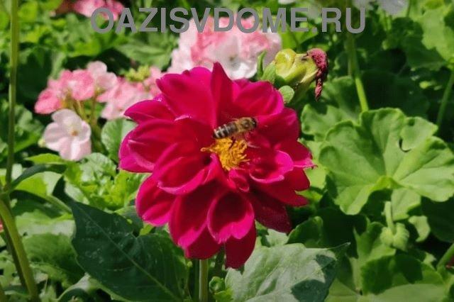 Цветок однолетнего георгина