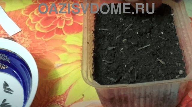 Посеянные на рассаду семена георгинов