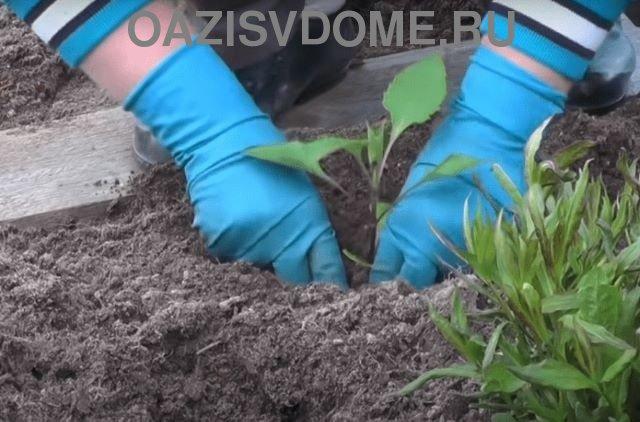 Высадка рассады однолетних георгинов