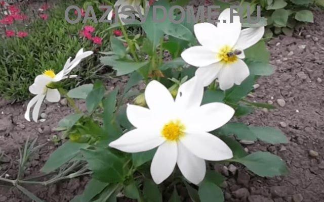 Однолетние георгины белого цвета