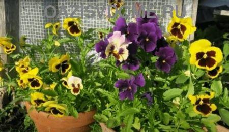 Посев и выращивание виолы из семян