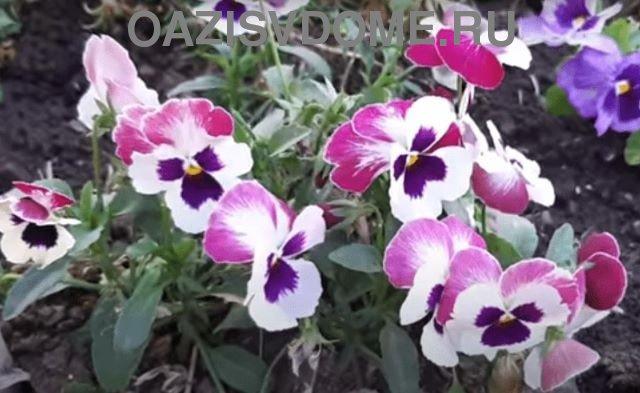 Цветение виолы анютиных глазок в саду