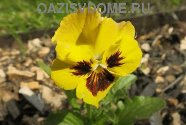 Двуцветный цветок виолы