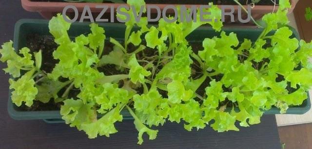 Салат, растущий дома в ящике