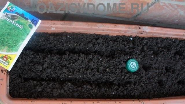 Посев семян укропа дома в ящики